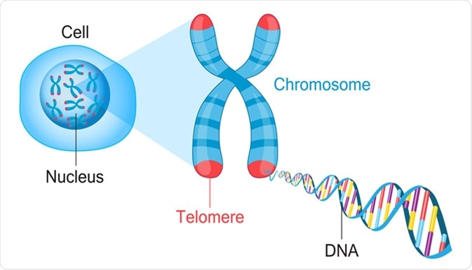 Telomeres are protective caps on the end of chromosomes. Image Credit: Fancy Tapis / Shutterstock