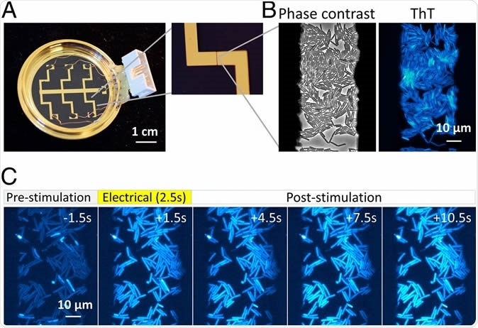 An apparatus enabling concurrent single-cell microscopy and stimulation with exogeneous electrical signal revealed hyperpolarization response to an electrical stimulus. (A) Bespoke glass-bottom dish coated with gold-titanium electrodes. Zoomed image on the Right shows 50-µm gap between electrodes. Dish is connected to relay circuit to apply electrical stimulation to bacterial cells (see SI Appendix, Figs. S1–S3 for details). (B) B. subtilis cells within the 50-µm electrode gap are visible in phase-contrast and ThT fluorescence images. (C) Film-strip images of ThT fluorescence of B. subtilis before, during, and after electrical stimulation. Increase in ThT fluorescence indicates hyperpolarization response to an electrical stimulus.