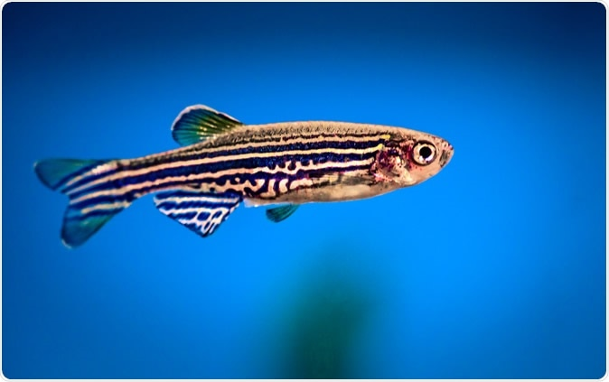 The zebrafish is a special animal to biologists because its body is transparent.Image Credit: Peter Verreussel / Shutterstock
