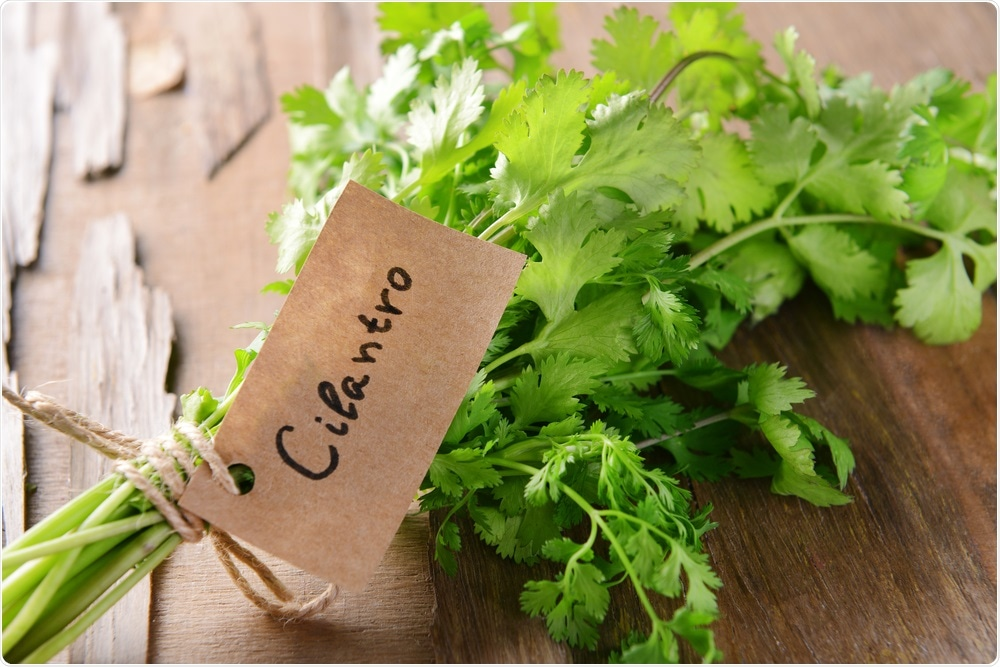 Cilantro, or coriander, on a work top in a kitchen