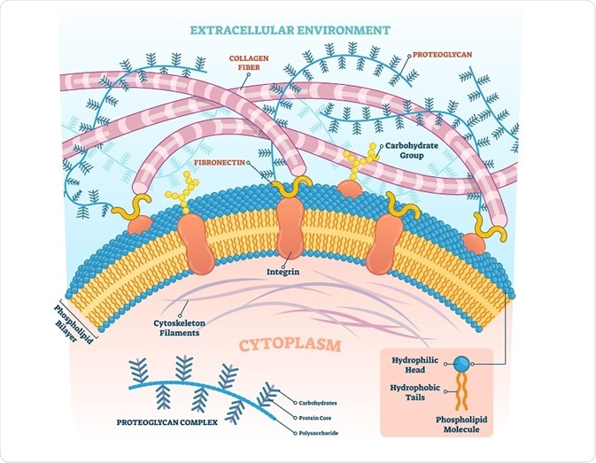 Diagram of the extracellular matrix showing proteoglycans in the external and internal cellular environments.