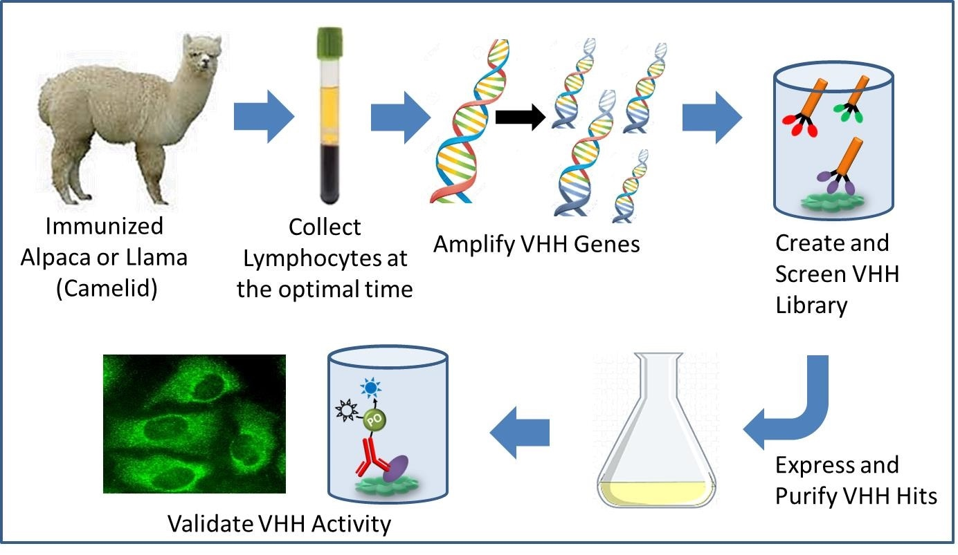 Pathway to recombinant VHH antibody development.