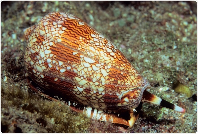 Conus textile – a source of conotoxins. The marine cone snail (Conus textile) is a source of the neurotoxic peptide known as conotoxin. Cone snails use a hypodermic-like tooth and a venom gland to attack and paralyze their prey before engulfing it.