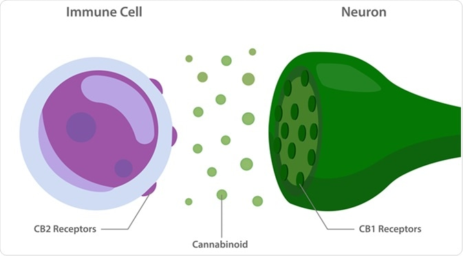 The Endocannabinoid system with cannabinoid receptors between immune cell and neuron. Image Credit: About time / Shutterstock
