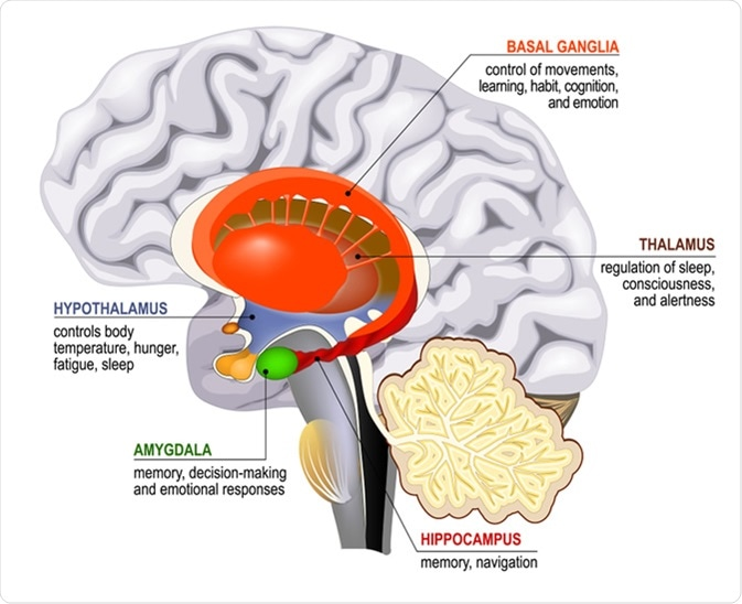 Limbic system. Cross section of the human brain. Mammillary body, basal ganglia, pituitary gland, amygdala, hippocampus, thalamus - Illustration Credit: Designua / Shutterstock