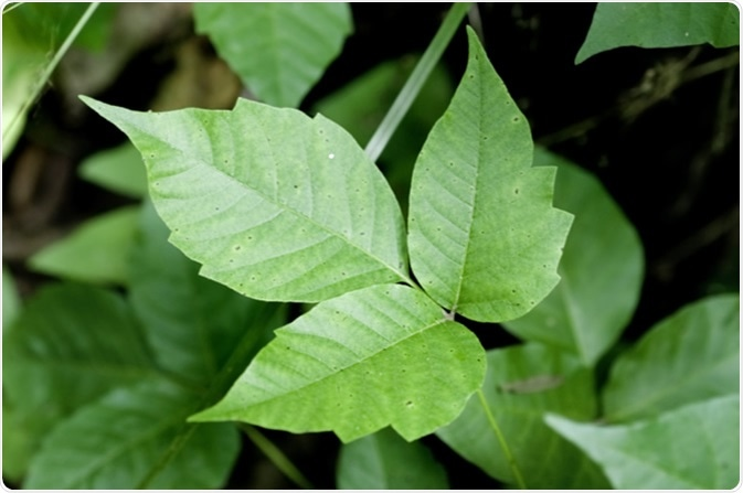 Close up detail of a Poison Ivy Plant. Image Credit: Tim Mainiero / Shutterstock