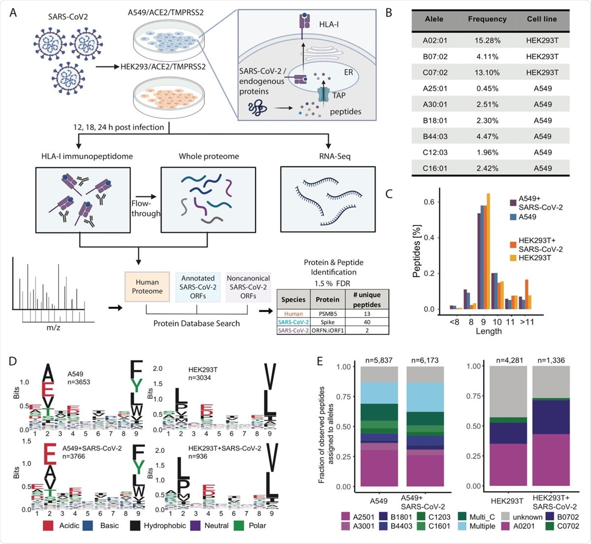 Experimental design and measurements of HLA-I immunopeptidome, whole proteome and RNA-seq in SARS-CoV-2 infected cells.