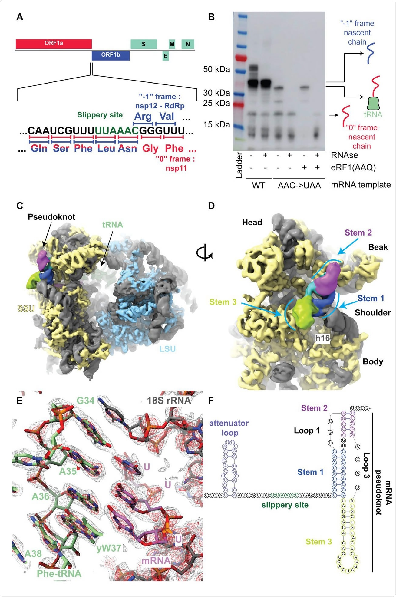 The SARS-Cov-2 pseudoknot interacts with the ribosome and pauses translation upstream of the slippery site. (A) Schematic of the SARS-CoV-2 main ORF. In the close up view of the frameshift event, codons and corresponding amino acids are shown. During -1 frameshifting, the 'slippery site' codons UUA (Leu) and AAC (Asn) are the last codons decoded in the 0 frame. Upon -1 frameshifting of the AAC codon to AAA, translation resumes at the CGG (Arg) triplet, where elongation proceeds uninterrupted to produce full-length Nsp12. (B) In vitro translation reaction depicting pausing at the frameshift site. Efficient frameshifting is observed for the WT template.