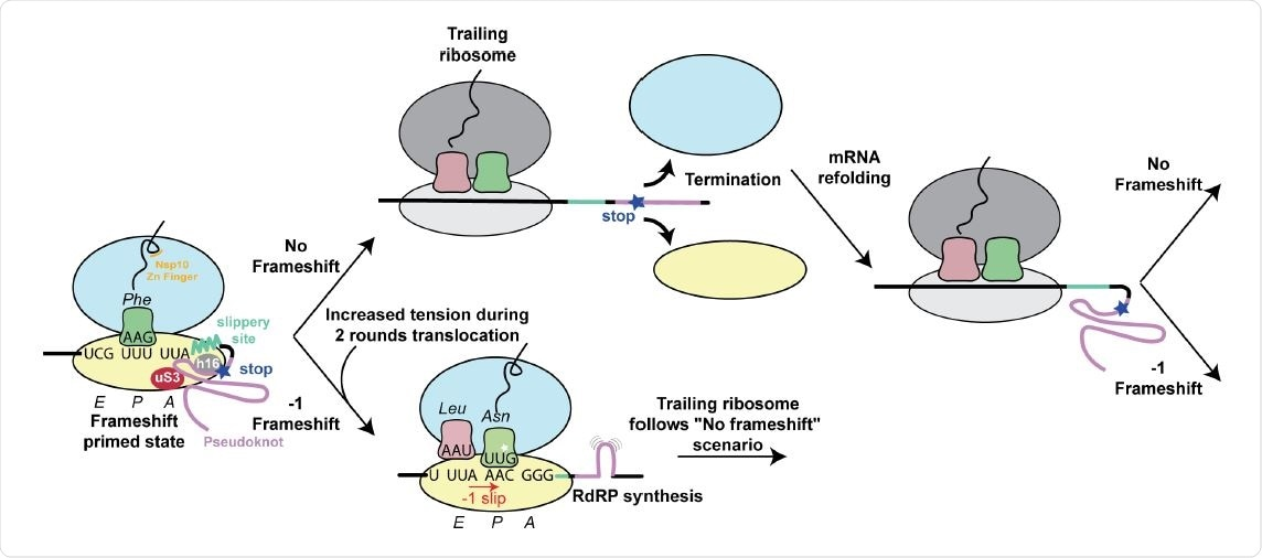 Structure based model for -1 programmed frameshifting in coronaviruses and its regulation. The observed interactions between the pseudoknot and the ribosome prime the system for frameshifting. The features of the pseudoknot and the interactions between the nascent chain and the ribosomal tunnel play a role in the efficiency of frameshifting. The efficiency of frameshifting is increased by the presence of a stop codon near the frameshifting site. Ribosomes that progress beyond the frameshifting site in the 0 frame quickly terminate and disassemble, thereby increasing the chances that the pseudoknot will refold before it is encountered by the closely trailing ribosome. The trailing ribosome in turn encounters the pseudoknot, which increases the possibility of undergoing -1 frameshifting.