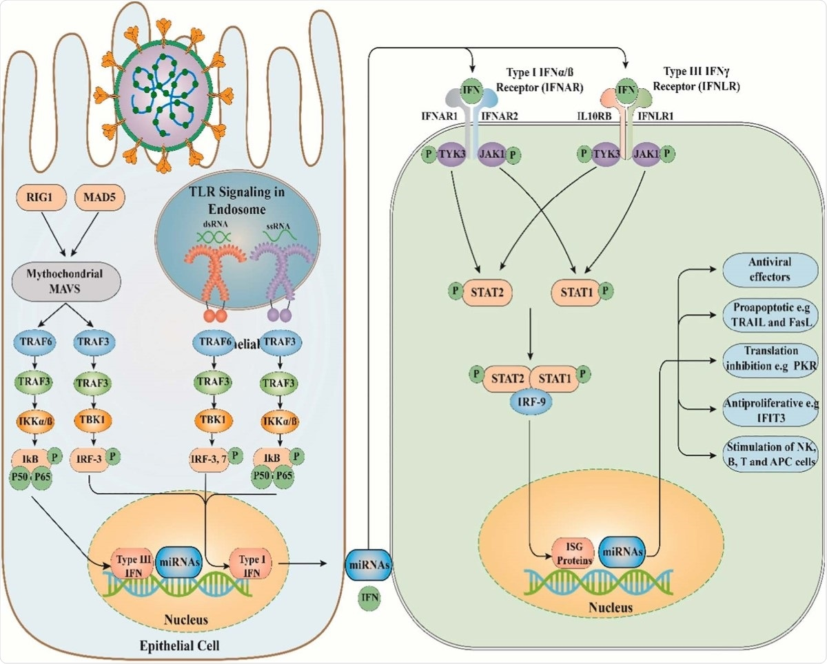 The antiviral immune response and role of miRNAs. TLR, Toll-like receptor; RIG1, Retinoic acid-inducible gene I; MAD5, melanoma differentiation-associated protein 5; Mitochondrial antiviral-signaling protein; TRAF3, TNF receptor-associated factor3; TRAF6, TNF receptor-associated factor6; IKK, I?B kinase; TANKbinding kinase 1; IRF3, Interferon regulatory factor 3; IFN, Interferon; IFNAR1, interferon-a/ß receptor 1; STAT1, Signal transducer and activator of transcription 1; STAT2, Signal transducer and activator of transcription 2; IRF9, Interferon regulatory factor 9; ISG, interferon-stimulated gene; miRNAs, microRNAs.
