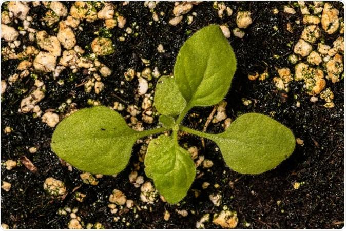 Young Tobacco Plant (Nicotiana benthamiana). Image Credit: Hanjo Hellmann / Shutterstock