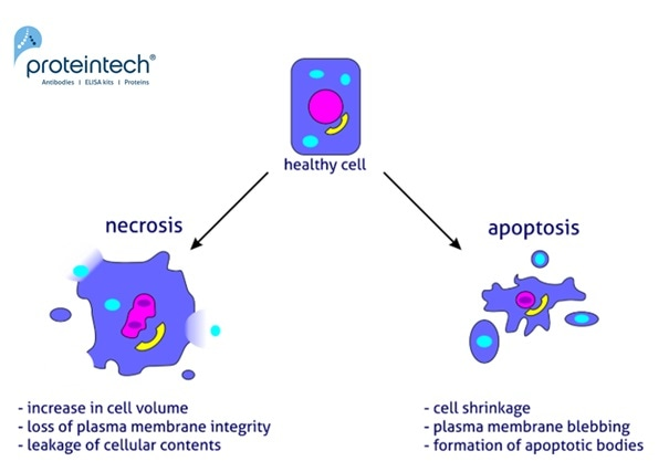 Apoptosis and Necrosis Differences and Comparison