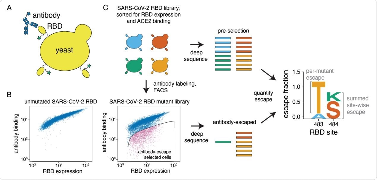 """A yeast-display system to completely map SARS-CoV-2 RBD antibody escape mutations. (A) Yeast display RBD on their surface. The RBD contains a c-myc tag, enabling dual-fluorescent labeling to quantify both RBD expression and antibody binding of RBD by flow cytometry. (B) Per-cell RBD expression and antibody binding as measured by flow cytometry for yeast expressing unmutated RBD and one of the RBD mutant libraries. (C) Experimental workflow. Yeast expressing RBD mutant libraries are sorted to purge RBD mutations that abolish ACE2 binding or RBD folding. These mutant libraries are then labeled with antibody, and cells expressing RBD mutants with decreased antibody binding are enriched using FACS (the """"antibody-escape"""" bin; see Figure S1 for gating details). Both the initial and antibody-escape populations are deep sequenced to identify mutations enriched in the antibody-escape population. The deep-sequencing counts are used to compute the """"escape fraction"""" for each mutation, which represents the fraction of yeast cells with a given RBD mutation that falls into the antibody-escape sort bin. The escape fractions are represented in logo plots, with tall letters indicating mutations that strongly escape antibody binding."""
