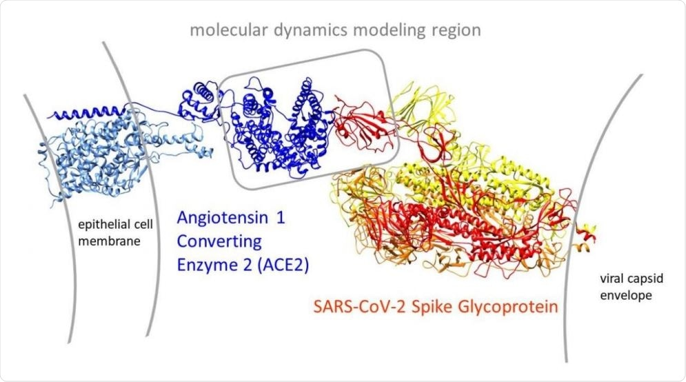 Overview of the open conformation SARS-CoV-2 spike glycoprotein (PDB: 6vyb) interaction with its human target cell receptor, angiotensin 1 converting enzyme 2 (ACE2 PDB: 6m17). The gray box in the center shows our modeling region that bounds most of the subsequent molecular dynamics simulations in the study.