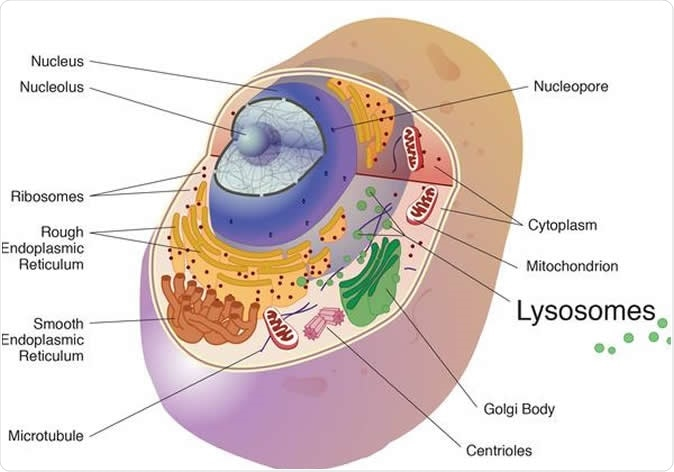 The cathepsins in the study were cysteine cathepsins and are best known for their work in the lysosome, a cell organelle, where they break down unneeded proteins into amino acids. Image Credit: National Institutes of Health