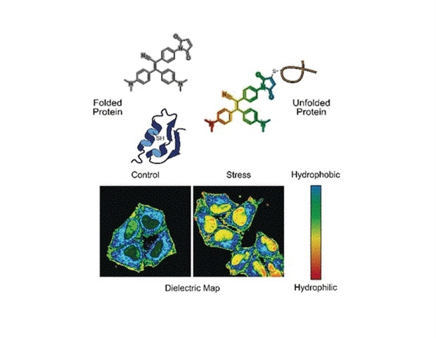 New molecular probe senses the state of proteome in live cells - News-Medical.net
