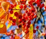 NMR Reveals the Benefits of Sorbus Berries on Diabetes
