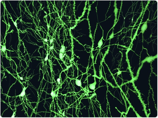 Neurons marked with fluorescence