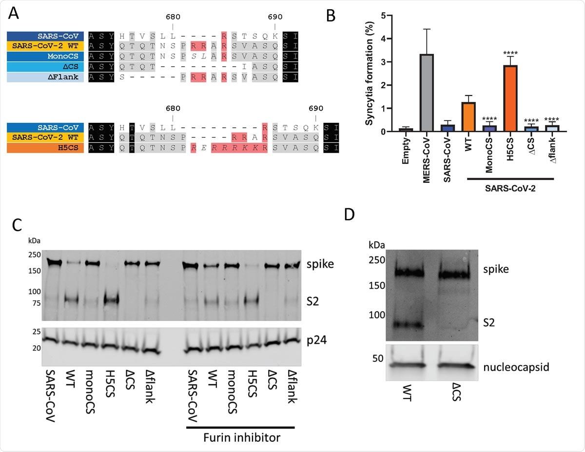Le pic SARS-CoV-2 contient un site de clivage de la furine polybasique sous-optimal au site S1 / S2. (A) Alignement des séquences d'acides aminés des mutants du site de clivage de la furine du coronavirus utilisés dans cette étude. Mutants avec potentiel S1 / S2 sites de clivage de la furine représentés dans les tons orange tandis que les mutants sans sites de clivage de la furine sont représentés dans les tons de bleu. (B) Formation de syncytia due à la surexpression de différentes protéines de pointe de coronavirus dans les cellules Vero E6. Le pourcentage indique la proportion de noyaux dans chaque champ qui se sont formés clairement syncytia. Signification statistique déterminée par ANOVA à un facteur avec des comparaisons multiples contre le SRAS-CoV-2 WT. **** indique une valeur P <0,0001. (C) Analyse par transfert Western de pseudotypes lentiviraux concentrés avec différentes protéines de pointe de coronavirus. Niveaux de lentiviraux antigène p24 montré comme contrôle de chargement. Des pseudotypes lentiviraux marqués «inhibiteur de furine» ont été générés en présence de 5 uM Decanoyl-RVKR766 CMK, ajouté 3 heures après la transfection. (D) Western blot an analyse des virus concentrés WT et ΔCS SARS-CoV-2. Niveaux de protéine nucléocapside (N) indiqués comme contrôle de chargement.