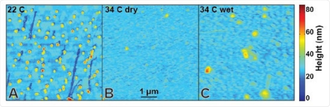 Sars-CoV-2 VLP stability as a function of environmental conditions. (A) VLPs are stable for hours on glass surfaces at room temperature under dry conditions. (B) VLPs imaged at 34 °C under dry conditions show high background noise and negligibly few features consistent with (A). MT washout sites can only be identified via high contrast enhancement (Fig. S1) and spatial peaks indicative of VLPs are rare and fragile (Fig. 2). (C) VLPs incubated at 34 °C in solution and imaged at room temperature are more consistent with (A) but also reveal widespread VLP disruption.
