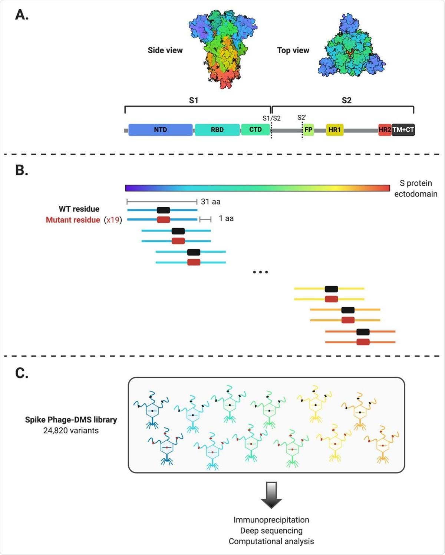 Esquema del diseño de la biblioteca Spike Phage-DMS.  (A) Estructura de la proteína S y ubicación de dominios proteicos importantes.  La estructura se creó en BioRender.com (PDB: 6VXX) (B) Las secuencias se diseñaron computacionalmente para codificar péptidos de 31 aminoácidos de longitud y para distribuir por pasos el ectodominio de la proteína Wuhan-Hu-1 SARS-CoV-2 S por 1 aminoácido .  Hay 20 péptidos que representan los 20 aminoácidos posibles en la posición central, que contienen el residuo de tipo salvaje (mostrado en negro) o un residuo mutante (mostrado en rojo).  Dentro de la región de 31 aa que rodea la mutación D614G, también se generaron péptidos con G614 además de las variantes de 20 aminoácidos en la posición central.  (C) Las secuencias diseñadas se clonaron en un vector de presentación de fagos T7 y se amplificaron para crear la biblioteca final de proteína S Phage-DMS.  Esta biblioteca se utilizó luego en experimentos de secuenciación profunda e inmunoprecipitación aguas abajo con plasma humano.