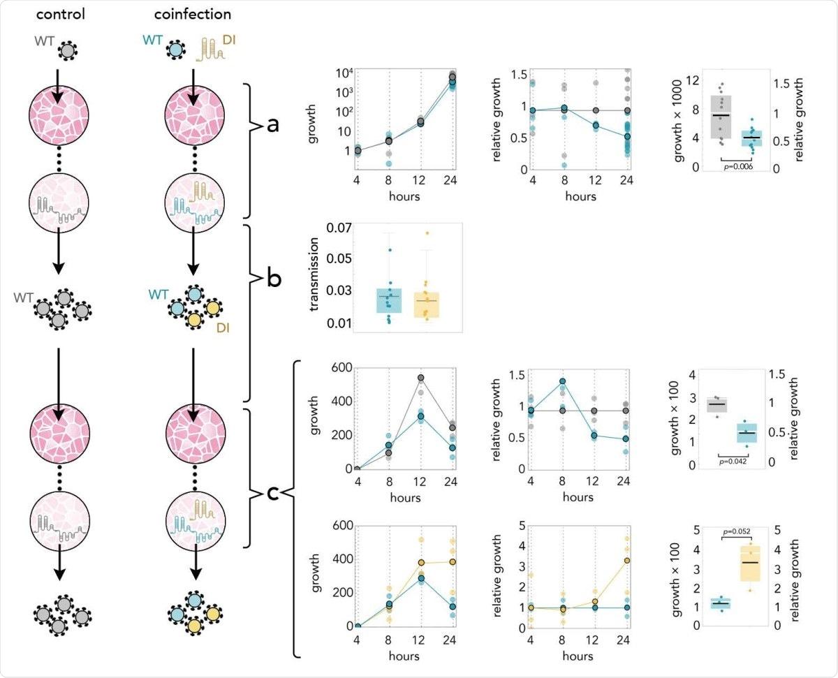 DI reduce la cantidad de SARS-CoV-2 a la mitad;  se replica 3 veces más rápido;  y se transmite con la misma eficacia.  Amarillo: DI en coinfecciones;  azul: WT en coinfecciones;  gris: WT en infecciones sin DI.  a: Tasas de crecimiento (cantidad absoluta relativa a la cantidad a las 4 horas) de WT en controles y en coinfecciones;  crecimiento en relación con los controles en el mismo momento;  y detalle a las 24 horas.  b: 24 horas después de la infección, se utilizó el sobrenadante para infectar nuevas células.  La eficiencia de transmisión es la cantidad medida por qRT-PCR inmediatamente antes del pase dividida por la cantidad media medida casi inmediatamente (4 horas) después del pase.  c: Tasas de crecimiento (cantidad absoluta relativa a la cantidad a las 4 horas) de WT en controles y en coinfecciones;  crecimiento en relación con los controles en el mismo momento;  y detalle a las 24 horas.  Tasas de crecimiento (cantidad absoluta relativa a la cantidad a las 4 horas) de WT y DI en coinfecciones;  crecimiento relativo al de WT en coinfecciones en el mismo momento;  y detalle a las 24 horas.