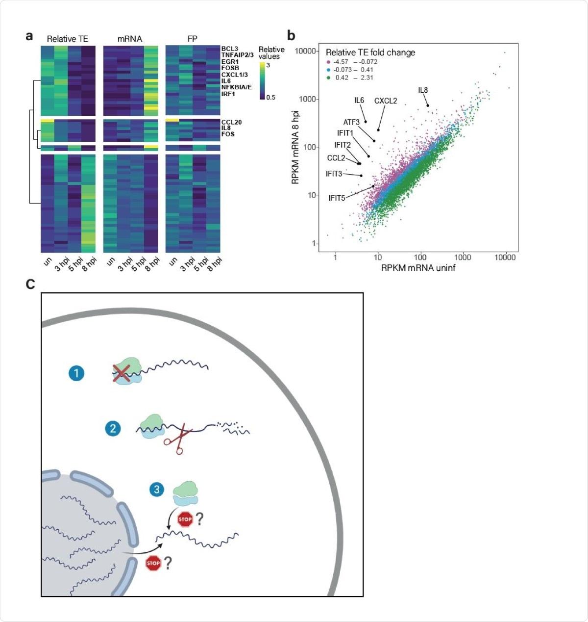 La traducción de las transcripciones inducidas se altera durante la infección.  (A) Mapa de calor que presenta TE relativo, ARNm y huellas (FP) de genes humanos que mostraron los cambios más significativos en su TE relativo a lo largo de la infección por SARS-CoV-2.  Se muestran las relaciones de expresión relativas después de dividir la agrupación en función de los cambios en los valores de TE relativos.  (B) Gráfico de dispersión que presenta los niveles de transcripción celular en células no infectadas en comparación con 8hpi.  Los genes se colorean según el cambio relativo en su TE entre no infectado y 8hpi.  Las citocinas centrales y los genes estimulados por IFN están marcados.  (C) Un modelo de cómo el SARS-CoV-2 suprime la expresión génica del huésped mediante un enfoque de múltiples frentes: 1. Reducción de la traducción global;  2. Degradación de los ARNm celulares citosólicos;  3. Inhibición de la traducción específica de ARNm celulares recién sintetizados.