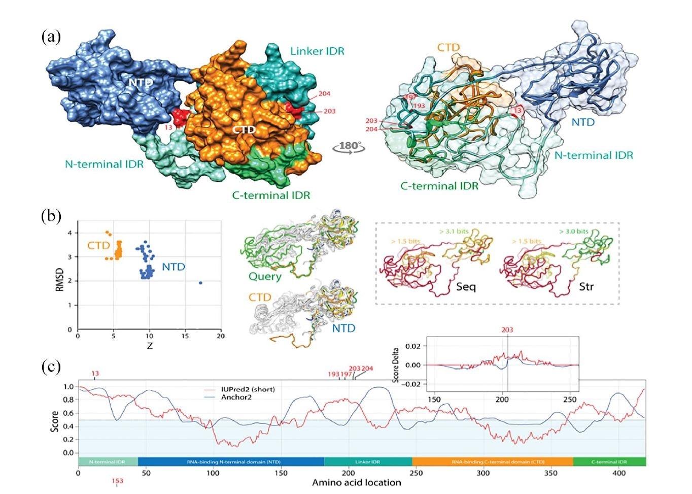 Las vías de diversificación mutacional del SARS-CoV-2 involucran regiones intrínsecas desordenadas de la proteína nucleocápside (N).  (a) La proteína N tiene 2 dominios principales de unión al ARN, un dominio N-terminal (NTD) y un dominio C-terminal (CTD), ambos conectados a un enlazador central y flanqueados por secuencias terminales, todas las cuales han sido informó que son regiones intrínsecamente desordenadas (IDR).  Las mutaciones se rastrearon en una estructura de proteína N de SARS-CoV-2 modelada con I-Tasser.  Ocurrieron en la posición 13 del IDR N-terminal y en las posiciones 193, 197, 203 y 204 del IDR del enlazador, todos ellos en regiones de bucle de la molécula.  Las mutaciones 203 y 204 fueron los únicos sitios que quedaron enterrados en la molécula.  (b) Un análisis de vecindad estructural DALI contra la estructura modelada (88 vecinos estructurales, incluidos muchos de SARS-CoV-2) mostró 2 conglomerados en la gráfica RMSD versus puntuación Z, uno que refleja la coincidencia estructural con el dominio NTD y el otro con el dominio CTD.  Los gráficos de alineación estructural de las 88 estructuras respaldaron la veracidad de los dominios de unión de ARN modelados y revelaron que la NTD está más conservada en los niveles de secuencia (Seq) y estructura (Str).  (c) El mapeo del trastorno intrínseco (UIPred2, línea roja) y la ganancia-pérdida de energía de enlace (Anchor2, línea azul) a lo largo de la secuencia confirmó el trastorno intrínseco significativo y el enlace (puntuaciones? 0,5) de las regiones del conector y del terminal.  Una comparación de la cepa viral de referencia y mutante R203K con una puntuación delta reveló que la mutación aumentaba el trastorno.  Se obtuvo un resultado similar con el mutante G204R.