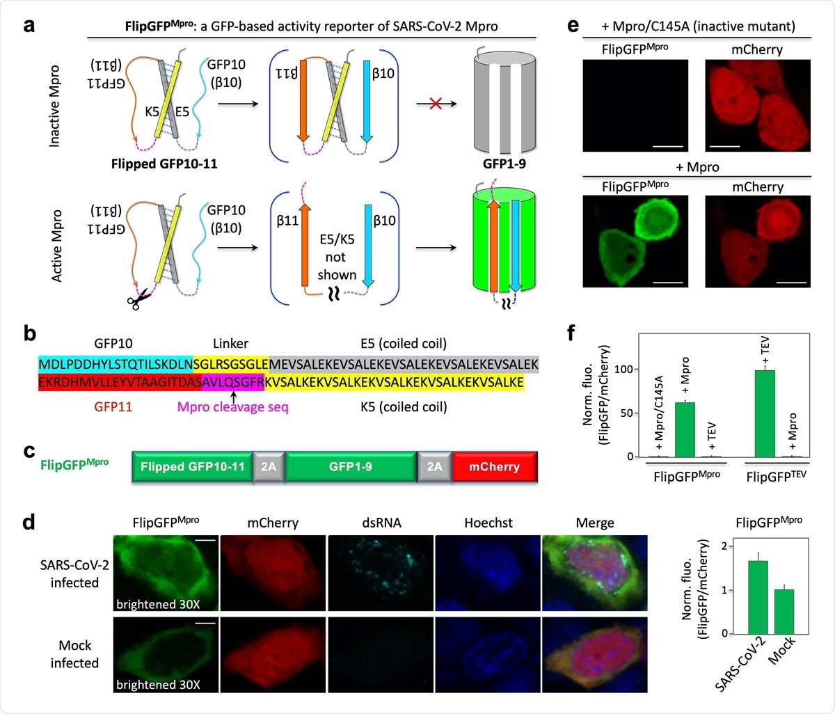 Design and demonstration of a GFP-based activity reporter of SARS-CoV2 main protease Mpro. (a) Schematic of the reporter. (b) Sequence of the flipped GFP10-11. (c) Construct of the reporter FlipGFPMpro. (d) Fluorescence images (left) and quantitative analysis (right) of SARS-CoV-2 or mock-infected HEK293T cells that co-expressed hACE2. The images in the FlipGFP channel were brightened 30-fold compared to those in (e). (e) Fluorescence images of HEK293T cells expressing FlipGFPMpro and mCherry, together with the inactive Mpro mutant C145A (upper panels) or wild type Mpro (lower panels). (f) Normalized FlipGFP fluorescence by mCherry. The ratio of FlipGFP/mCherry for the Mpro/C145A is normalized to 1. Data are mean ± SD (n = 5). FlipGFPTEV is a TEV activity reporter containing TEV cleavage sequence in FlipGFP. Scale bar: 5 μm (d); 10 μm (f).