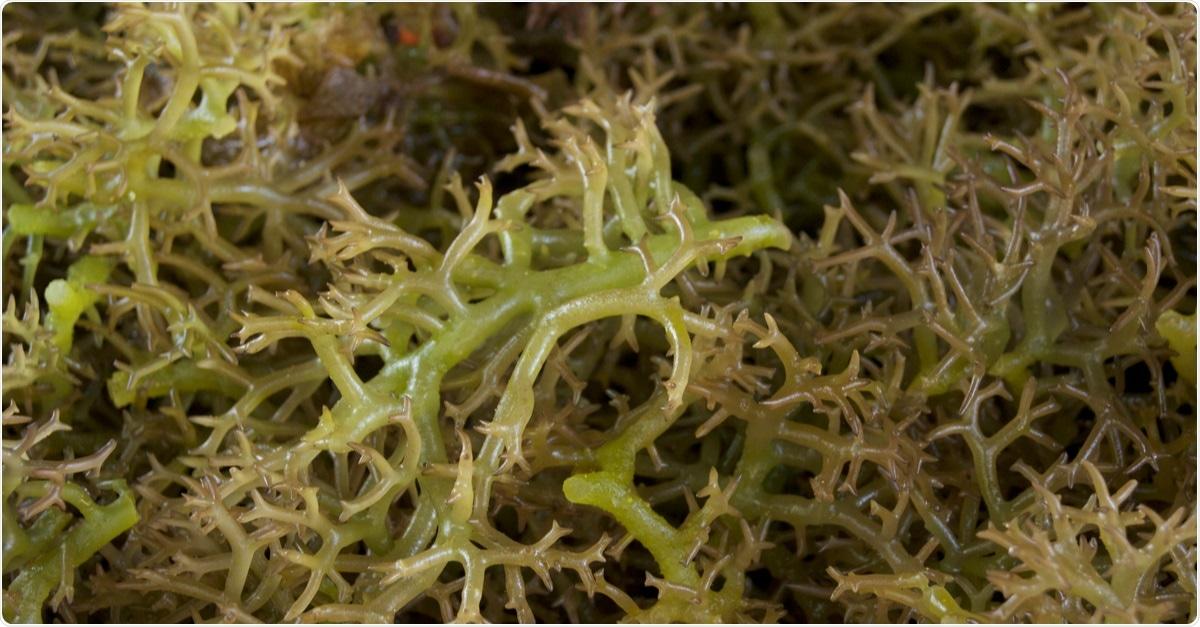 Image of fresh seaweed for carrageenan. Image Credit: Naz Images / Shutterstock