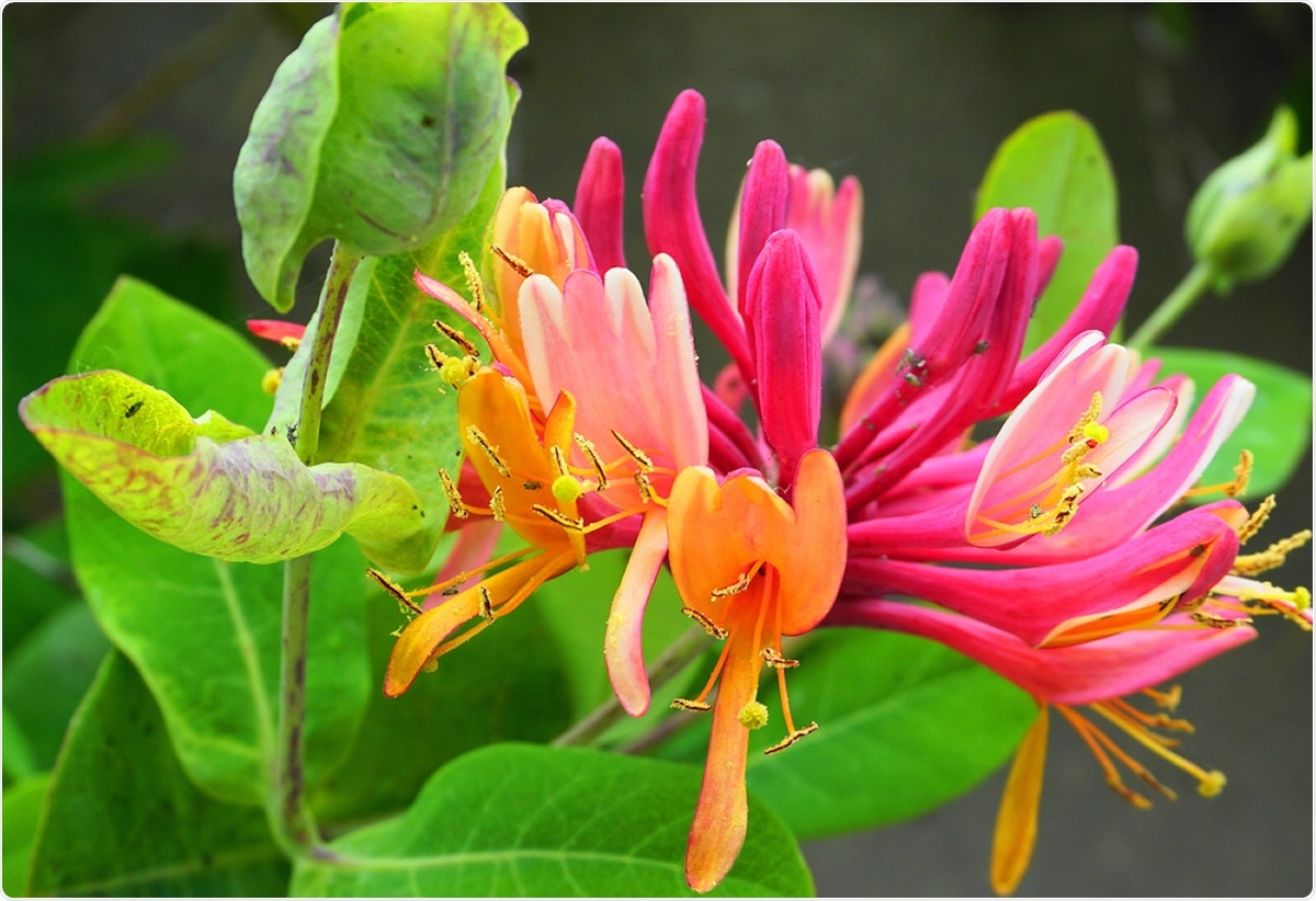 Close up Honeysuckle flowers. Image Credit: lenic / Shutterstock