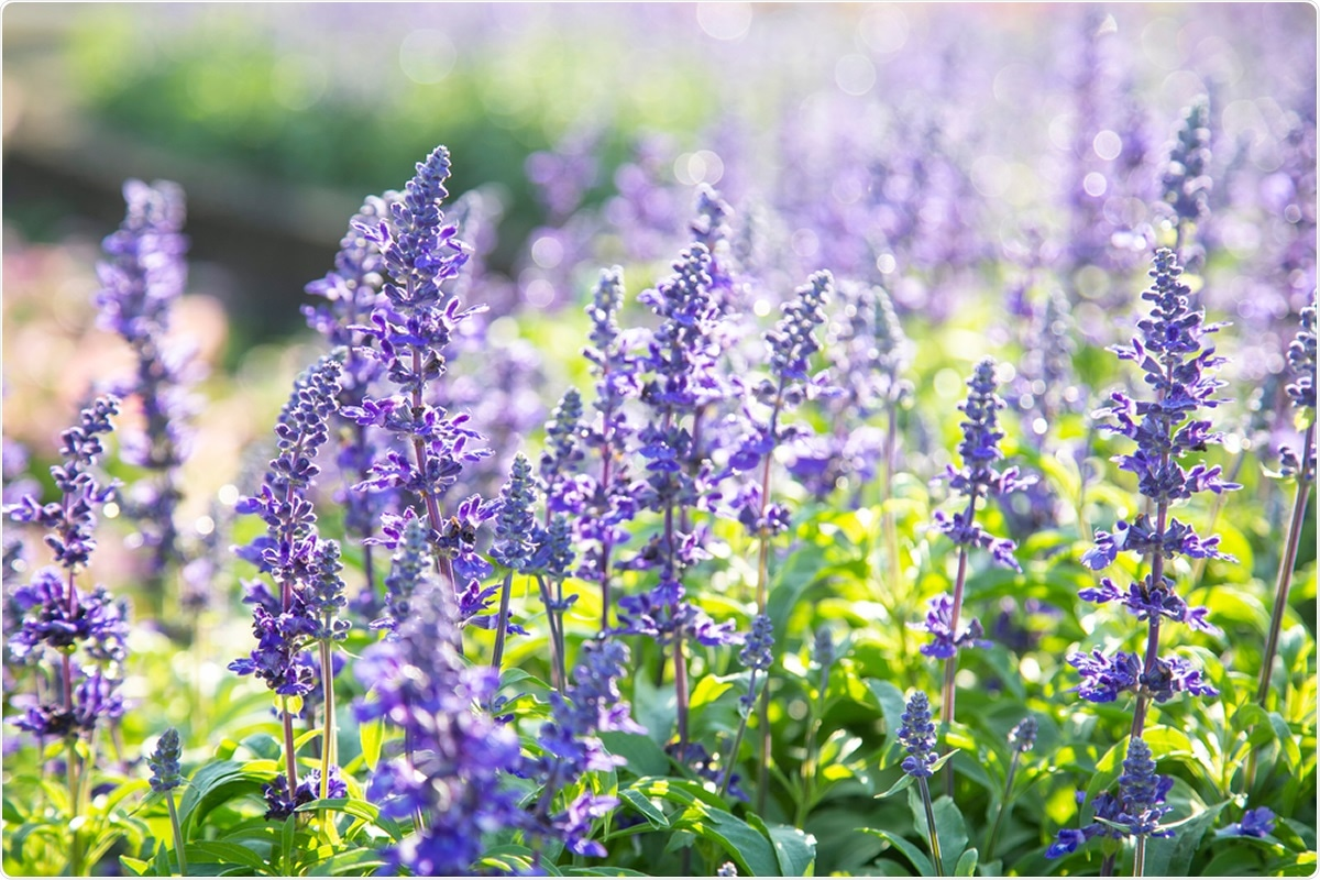 Study: Universally available herbal teas based on sage and perilla elicit potent antiviral activity against SARS-CoV-2 in vitro. Salvia officinalis. Image Credit: Liewluck / Shutterstock