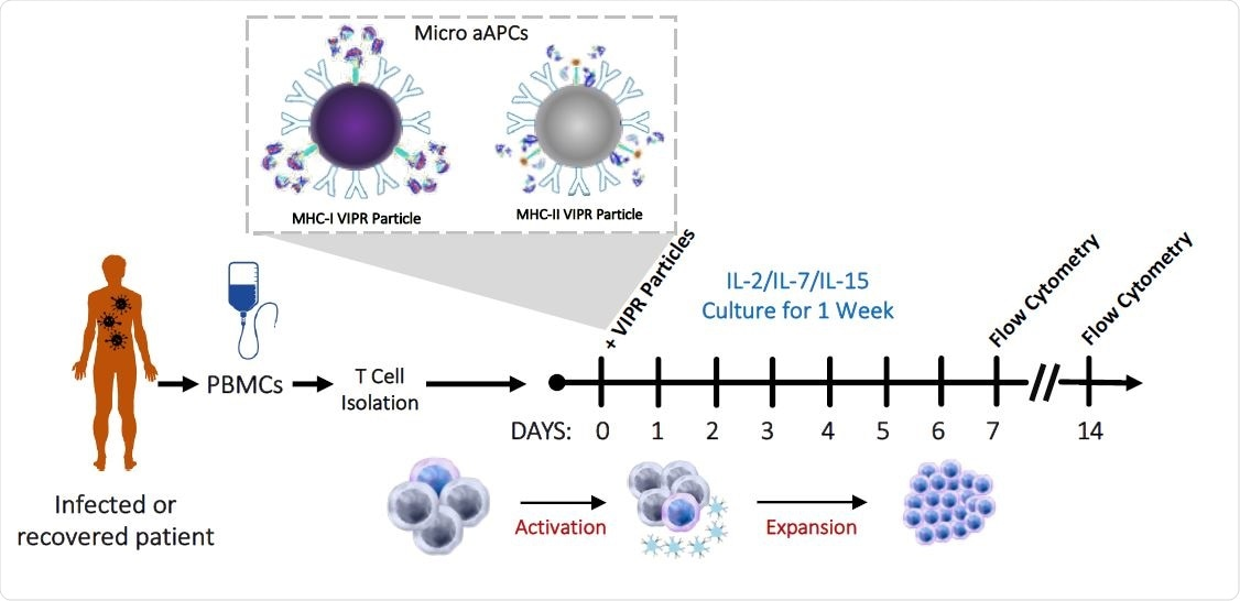 Virus induced lymphocytes show promise for COVID-19 and future pandemics – News-Medical.Net