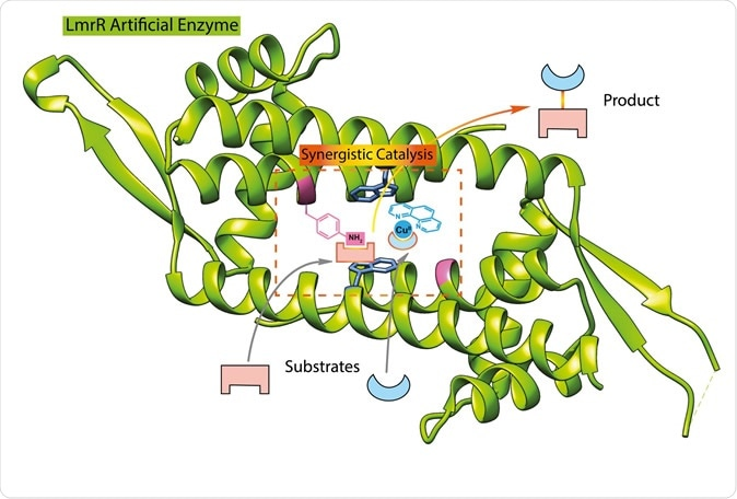 This illustration shows the structure of the LmrR protein (green), with the added catalytic groups binding to substrate. | Illustration Reuben Leveson-Gower