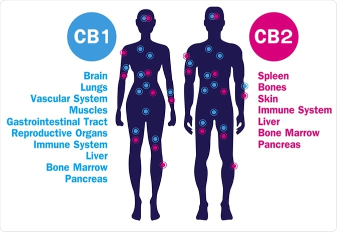 Human endocannabinoid CB1 and CB2 Receptors target system active in human body. Image Credit: Wut.ti.kit / Shutterstock