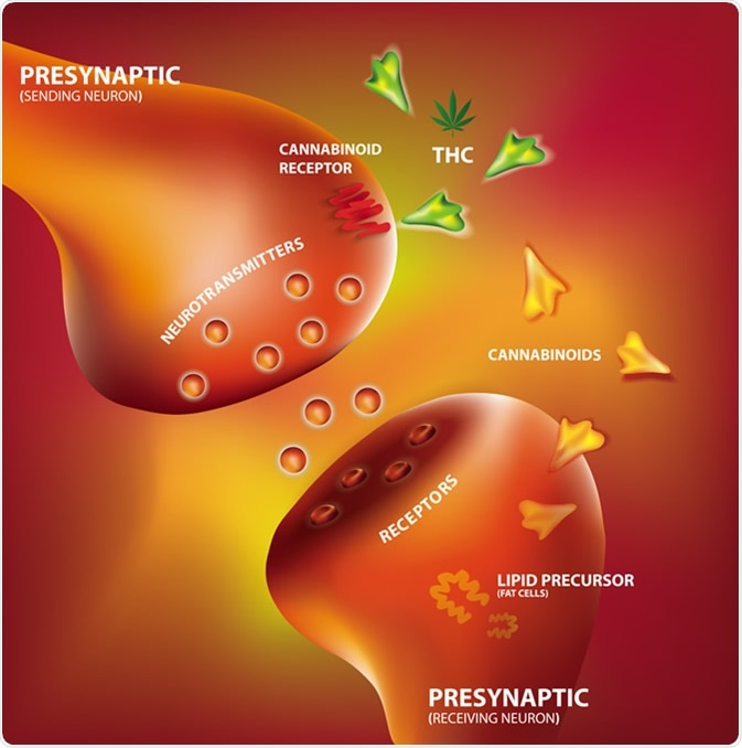 Endocannabinoid system. Image Credit: Shutterstock