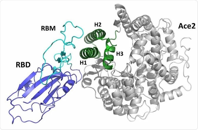representation of the complex between the receptor binding (RBD) domain of SARS-CoV2 Spike protein (blue/cyan) and the human ACE2 receptor (grey/green). The receptor binding motif (RBM) is drawn in cyan. The green portion of the ACE2 domain including helices H1, H2 and H3 is drawn in green.