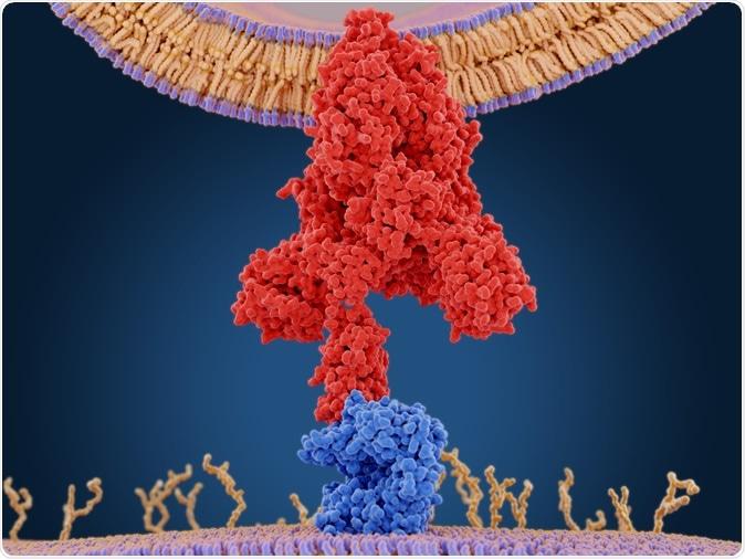La protéine de pointe du coronavirus (rouge) assure la médiation de l'entrée du virus dans les cellules hôtes. Il se lie à l'enzyme de conversion de l'angiotensine 2 (bleu) et fusionne les membranes virales et hôtes. Entrée PDB 6cs2. Rendu 3D. Crédit d'image: Juan Gaertner / Shutterstock