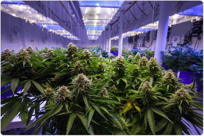 Étude: PCR quantitative pour une fleur de cannabis contenant du SAR-CoV-2. Crédit d'image: Canna Obscura / Shutterstock
