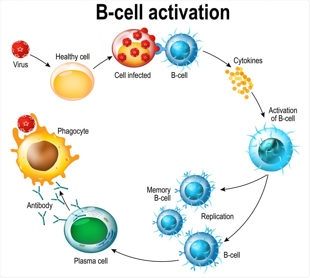 Activation of B-cell leukocytes: lymphoblast, activation, memory B-leukocyte, virus, plasma cell, antibody, antigen, and naive lymphocyte. Image Credit: Designua / Shutterstock