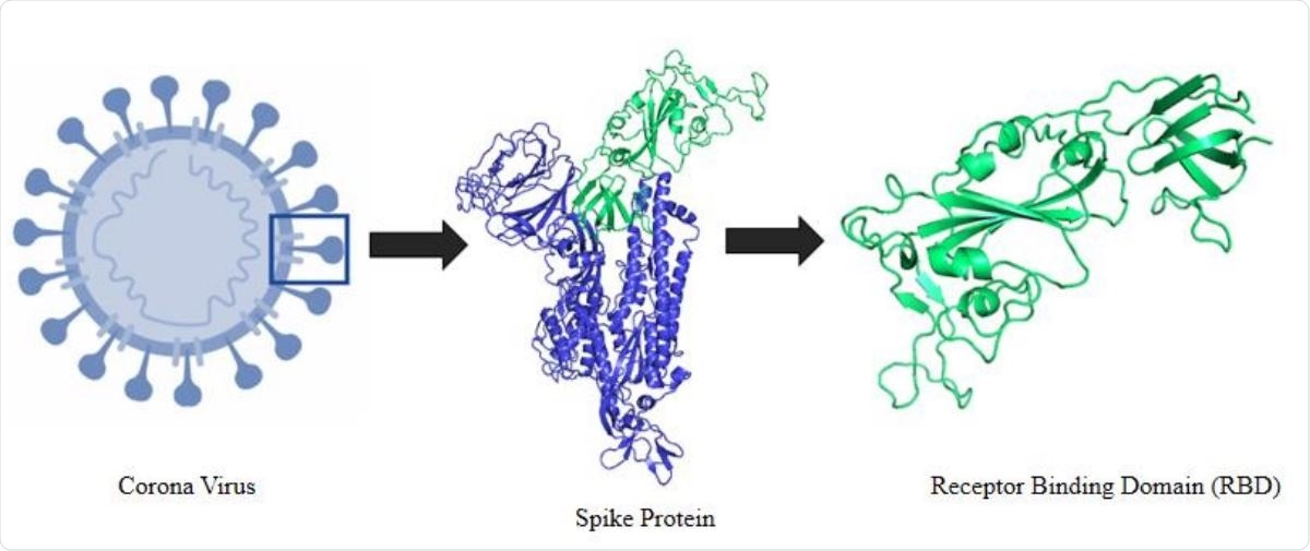 Schematic representation of the selection logistics of the protein and protein segment. It shows an animated figure of the 2019 novel coronavirus. Segment presented in green cartoon refers to the receptor binding domain (RBD) of the spike protein.