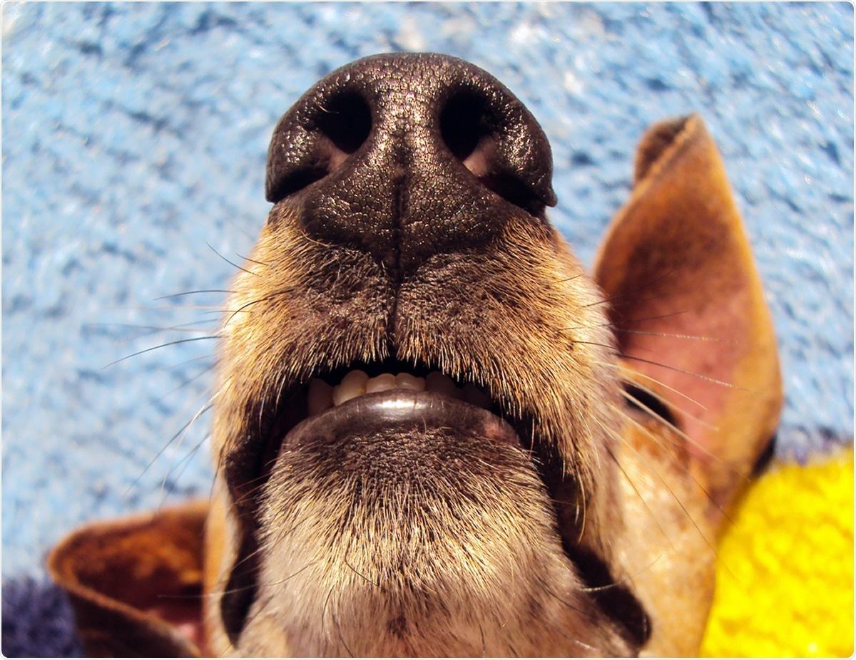 Étude: Identification d'échantillons de patients atteints de COVID-19 par des chiens parfumés - Étude pilote.  Crédit d'image: Horus2017 / Shutterstock