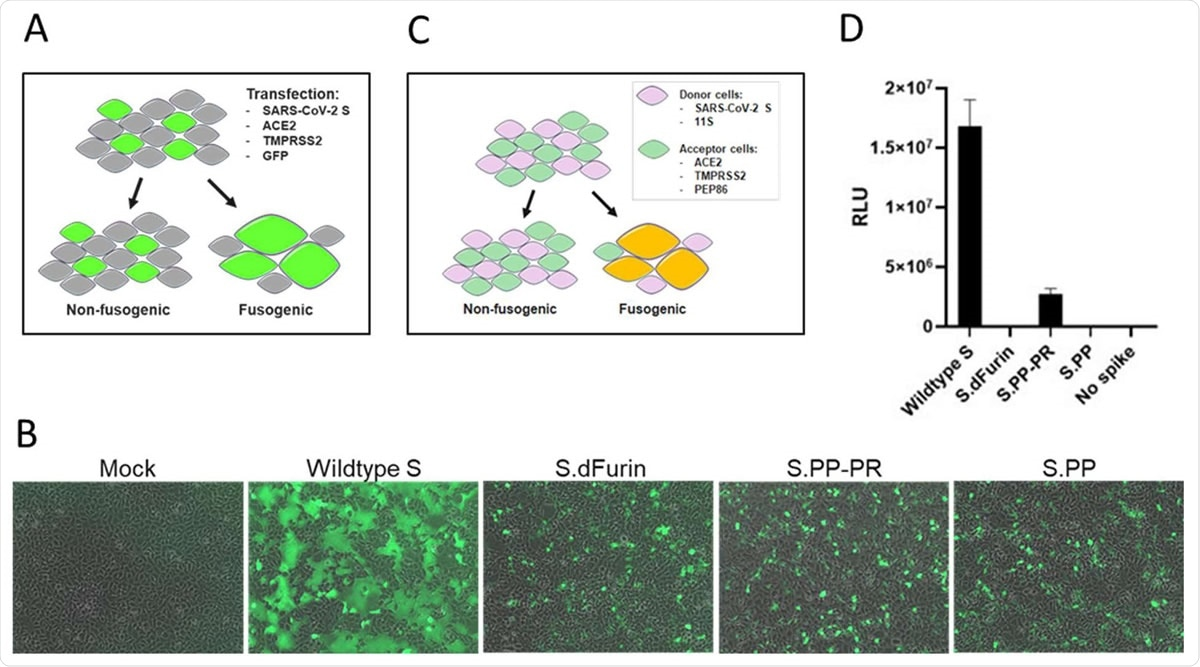 Effect of stabilizing mutations on fusogenicity of S protein. A) S protein fusogenicity as measured in a cell-cell fusion assay in HEK293 cells by co-transfection of plasmids encoding S protein, ACE2, TMPRSS2 and GFP. B) Overlay of GFP and brightfield channels 24 h after transfection, as in the setup of (A). The different S protein constructs are indicated; mock is an untransfected monolayer. C) Quantitative cell-cell fusion assay setup. D) Luciferase signal shown as relative light units (RLU) measured at 4 h post mixing of donor and acceptor cells, as in the setup of (C).