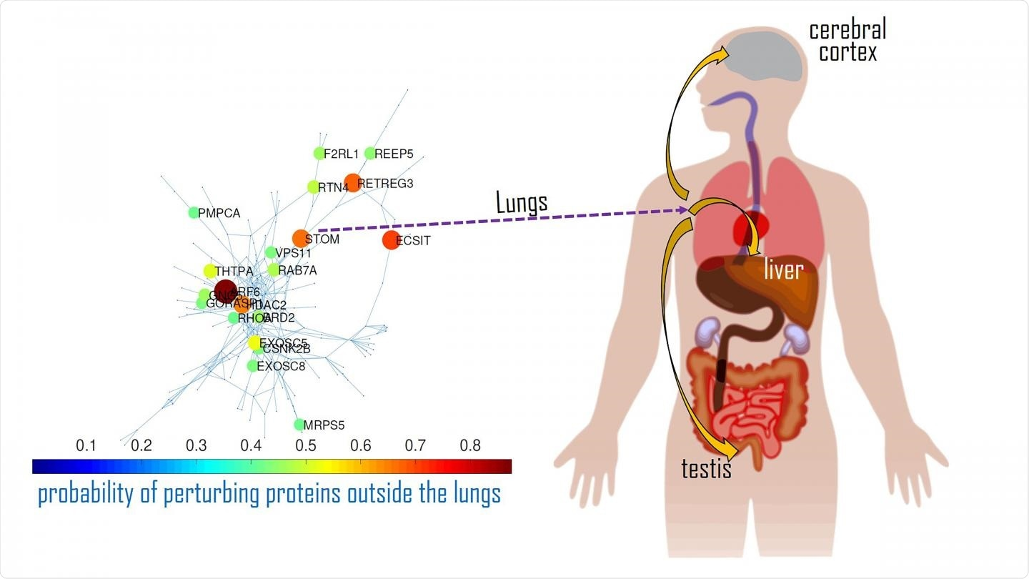 An interaction map of the main disease activators for SARS-CoV-2 in the lungs and how they impact proteins in other organs. Image Credit: Ernesto Estrada