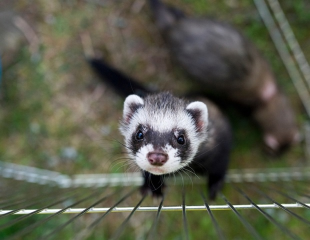 Ferrets not susceptible to SARS-CoV-2 infection – News-Medical.Net