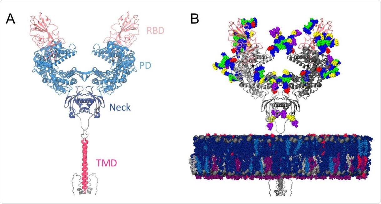 Model structure. (a) Full-length ACE2 homodimer protein structure in complex with spike protein RBDs. ACE2 peptidase, neck and transmembrane domains are shown with cartoons highlighted in blue, navy and magenta, respectively. Spike RBDs are depicted with pink cartoons. (b) Fully glycosylated and membrane-embedded model. ACE2 and RBDs are represented with gray and pink cartoons, respectively. Atoms of N-/O-glycans are shown with per-monosaccharide colored spheres, where GlcNAc is highlighted in blue, mannose in green, fucose in red, galactose in yellow, and sialic acid in purple. Lipid heads (P atoms) are represented with grey spheres, whereas lipid tails are depicted with a licorice representation using the following color scheme: POPC (navy), POPI (violet), POPE (silver), CHL (blue), PSM (magenta).