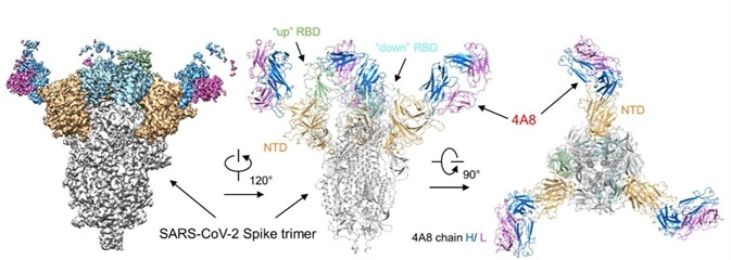 Cryo-EM of S protein and NTD domain.