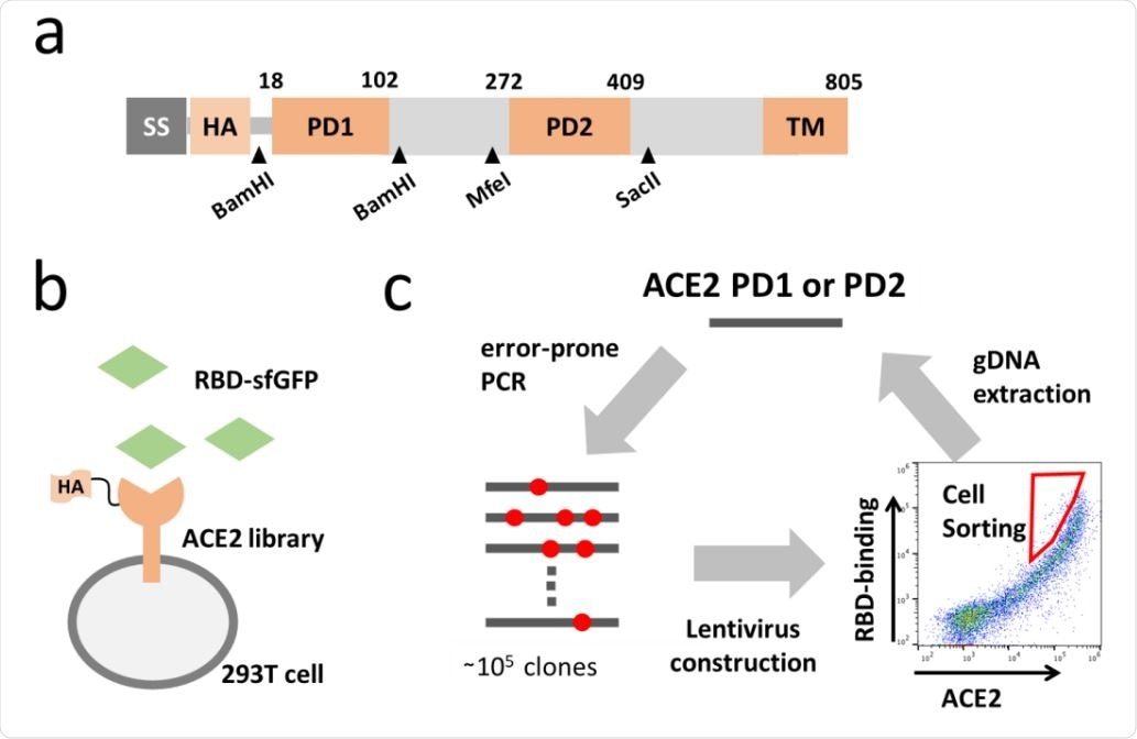Directed evolution of ACE2. (a) Full length ACE2 was optimized to fit screening. Synthetic signal sequence and HA tag were fused to mature ACE2 and restriction sites were introduced by optimizing codon optimization for the mutated fragment replacement. (b) ACE2 mutant library was expressed in 293T cell and incubated with the RBD of SARS-CoV-2 fused to superfolder GFP (sfGFP). (c) Error-prone PCR amplification of ACE2 protease domain induced random mutations in the rate of one mutation per 100bp and generated a library of ~105 mutants. Mutant library-transduced cells were incubated with the RBD-sfGFP. Top 0.05 % population with high level of bound RBD-sfGFP relative to ACE2 expression was sorted and underwent DNA extraction, followed by next cycle mutagenesis.