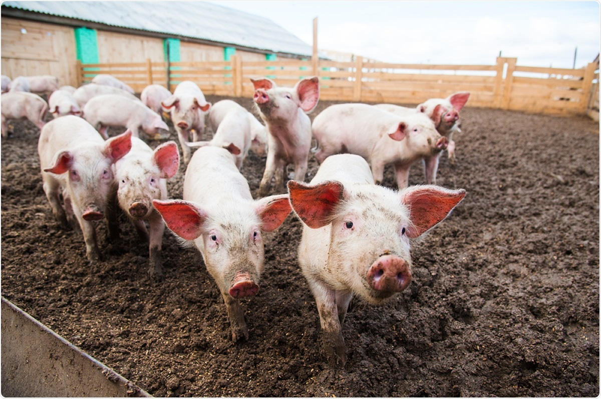 Study: Susceptibility of domestic swine to experimental infection with SARS-CoV-2. Image Credit: SGr / Shutterstock