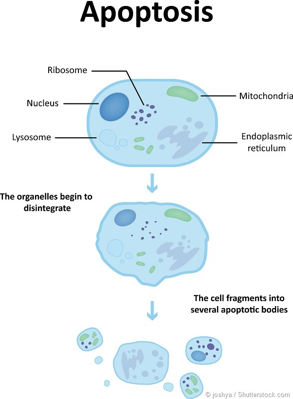 Could nanotechnology turn the cancer cell suicide switch back on apoptosis diagram ccuart Images